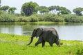 African bush elephant Selous Tanzania Royalty Free Stock Photo
