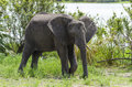 African bush elephant Selous Tanzania Royalty Free Stock Photo