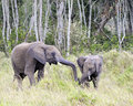 African Bush Elephants Royalty Free Stock Image