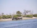 African bush elephants crossing chobe river loxodonta africana in botswana Stock Images