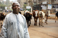 African cattle farmer or herdsman leading his herd of cows on a busy city street Stock Images