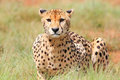 African cheetah Royalty Free Stock Image