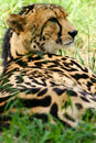 African Cheetah Stock Photo