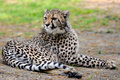 African Cheetah lying on grass Royalty Free Stock Images