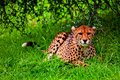 African cheetah an lying on grass under a tree in the wilderness Royalty Free Stock Photo