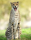 African cheetah snarling with mouth open Royalty Free Stock Photo