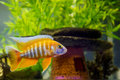 African Cichlid in aquarium Stock Photography