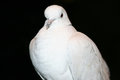 African collared dove streptopelia roseogrisea Royalty Free Stock Photo