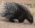 An African Crested Porcupine, ...
