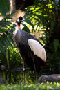 African crowned crane Royalty Free Stock Photo