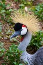 African Crowned Crane Royalty Free Stock Image