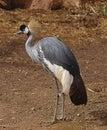 African Crowned Crane Stock Photos