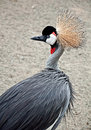 African Crowned Crane Bird Stock Images