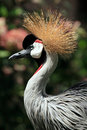 African Crowned Crane bird Royalty Free Stock Photos