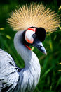 African crowned crane crested national bird of uganda Royalty Free Stock Image