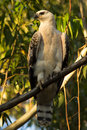 African Crowned Eagle Royalty Free Stock Photo