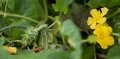 African cucumber cucumis metuliferus kiwano horned melon with yellow flower growing in australia Stock Photos
