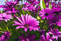 African daisies close up purple osteopermum Stock Photo