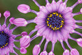 African Daisy Stock Photo