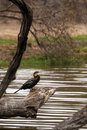 African darter Anhinga rufa Perching on Tree Trunk above Water, South Africa Royalty Free Stock Photo
