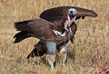 African eared vulture stands wings spread Royalty Free Stock Photos