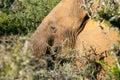 African elephant addo elephant park Stock Photography