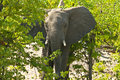African Elephant on alert Stock Image