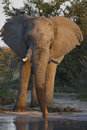 African Elephant - Botswana Royalty Free Stock Photography