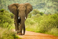 African elephant bull walking on a sand road through the wilderness Royalty Free Stock Photos