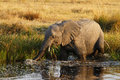 African Elephant Drinking Royalty Free Stock Photo