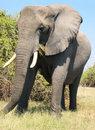 African elephant eating Royalty Free Stock Photos