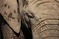 African elephant eye Royalty Free Stock Photo