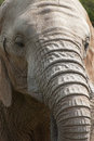 African elephant face with wrinkled nose Royalty Free Stock Photo