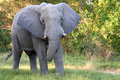African Elephant Facing Stock Photography