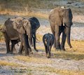 African Elephant Family Royalty Free Stock Photo