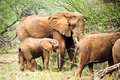 African elephant family in the wild tanzania Royalty Free Stock Photography