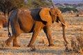 African elephant female, Tarangire, Tanzania Royalty Free Stock Photo