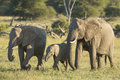 African elephant females and baby loxodonta africana walking a two eating while together Stock Photography