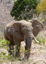 African Elephant, Kenya Royalty Free Stock Photo