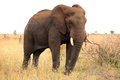 African elephant. Kruger National Park. South Africa. Safari. Royalty Free Stock Photo