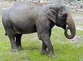 African elephant latin name loxodonta africana Royalty Free Stock Image