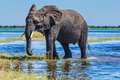 African elephant - loner Royalty Free Stock Photo
