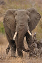 African Elephant (Loxodonta africana) Royalty Free Stock Photo