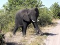 African elephant, Loxodonta africana, crossing the road ahead of the car, Chobe National Park, Botswana Royalty Free Stock Photo