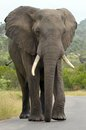 African elephant loxodonta africana in kruger national park walking the road south africa Royalty Free Stock Images