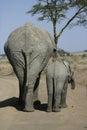 African elephant loxodonta africana mammal in groups tanzania Stock Image