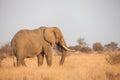 African Elephant Loxodonta africana Royalty Free Stock Photo