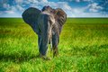 African elephant in a national park, South Africa Royalty Free Stock Photo