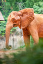 African elephant in natural environment Royalty Free Stock Photos