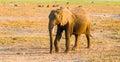African Elephant in natural habitat, Tarangire National Park, Tanzania, Africa. Royalty Free Stock Photo